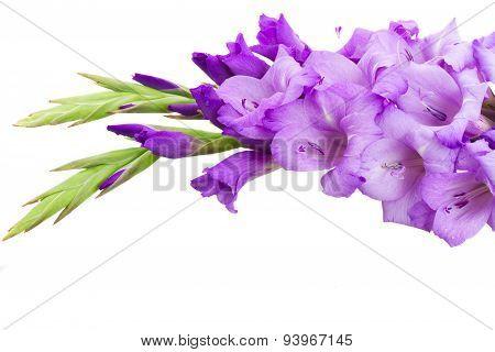 border of gladiolus flowers
