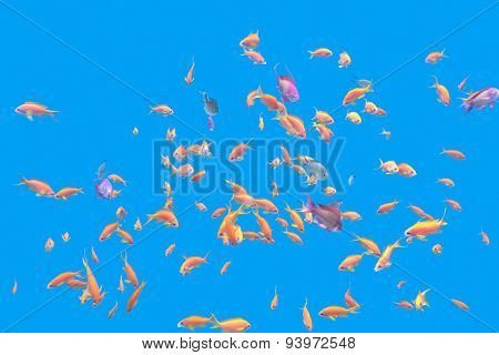 Shoal Of Exotic Fishes Anthias In Tropical Sea , Underwater