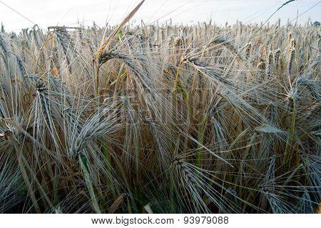 winter barley (Hordeum vulgare L.)