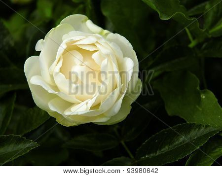 Beautiful white rose.