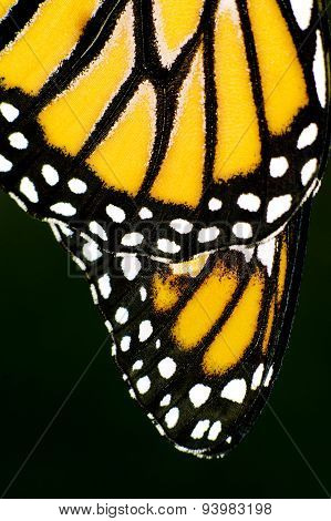 Close up of orange and black Monarch Butterfly wings.