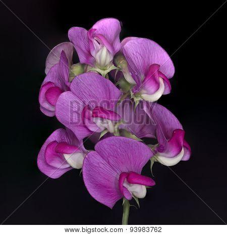 Wild Sweet Pea Flower