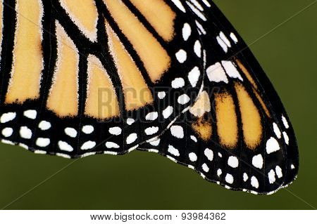 Close up of Monarch Butterfly wings with green background.