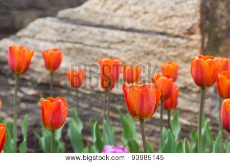 Orange Tulips In The Spring