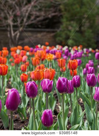 Purple Tulips In The Spring