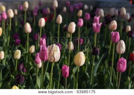 Pink And Cream Tulips In The Spring