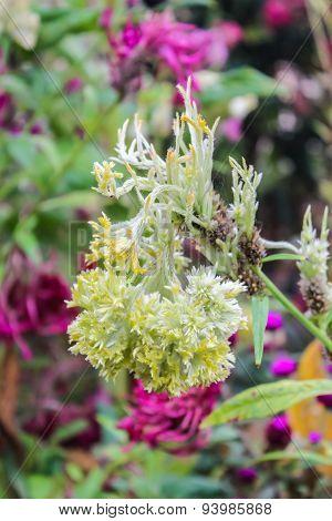 Crested Celosia, Cockscomb