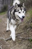 stock photo of malamute  - Male of Alaskan Malamute walking out of the forest - JPG