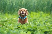 pic of cockapoo  - A cute little dog wearing a bandanna sitting in a strawberry field - JPG