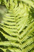 image of fern  - Green Fern Leaf in a sunny day closeup - JPG
