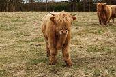 stock photo of cattle breeding  - Big bull breed grazing in the European field - JPG