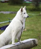 picture of swiss shepherd dog  - White Swiss Sheepdog is posing on the nature - JPG