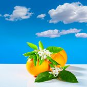 picture of valencia-orange  - Oranges with orange blossom flowers in spring on blue sky - JPG