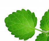 pic of mint leaf  - mint leaves close - JPG