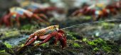 picture of crustations  - The scientific name of these crabs is Grapsus Grapsus and the common name is Sally Lightfoot Crabs or also known as Red Rock Crabs - JPG