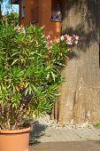 image of oleander  - Big Oleander plant in a flower pot in the garden in front of a tree - JPG