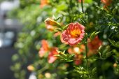 image of angiosperms  - Campsis grandiflora along the street in blossoming during summer - JPG