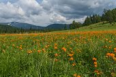 foto of cloud forest  - Beautiful mountain landscape with orange flowers in the meadow on a background of mountains forest and blue sky with clouds - JPG