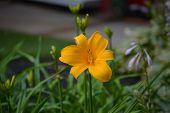 foto of day-lilies  - A gorgeous yellow tiger lily blooming to catch the mid day sun - JPG