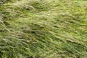 picture of tall grass  - Closeup of blown tall blades of grass with grass seed - JPG