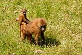 image of guinea  - Young Guinea baboon in a state of freedom - JPG