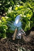 picture of spade  - Closeup photo of metal spade lying on garden bed with growing lettuce - JPG