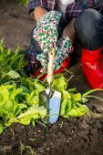 foto of spade  - Closeup photo of young woman working with spade on garden bed - JPG
