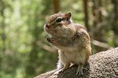 pic of chipmunks  - Chipmunk with sunflower seed in paws standing on a stone in the sunshine and smiling - JPG