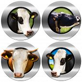 picture of cow head  - Four metallic round symbols or icons with space for text and heads of cows - JPG