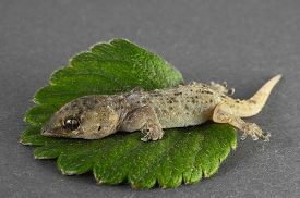 picture of hemidactylus  - One Small Gecko Lizard and Green Leaf on a Colored Background - JPG