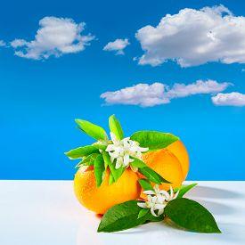 foto of valencia-orange  - Oranges with orange blossom flowers in spring on blue sky - JPG