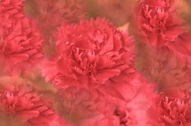 picture of carnations  - Pink carnation flowers - JPG