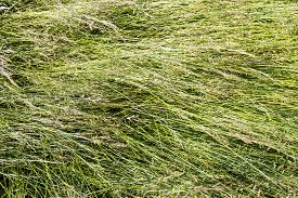 stock photo of blown-up  - Closeup of blown tall blades of grass with grass seed - JPG