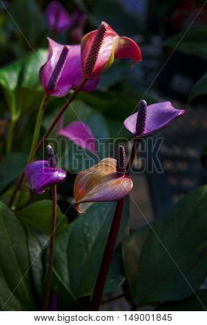 Colorful anthurium flowers in dark background
