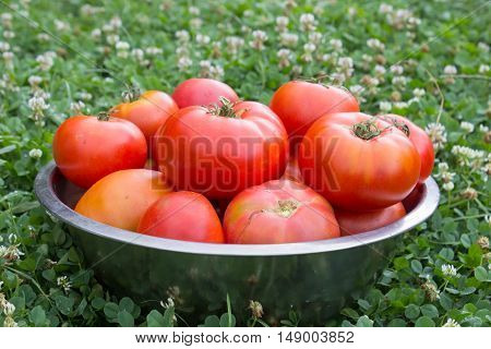 ripe tomatoes in large bowl on the grass