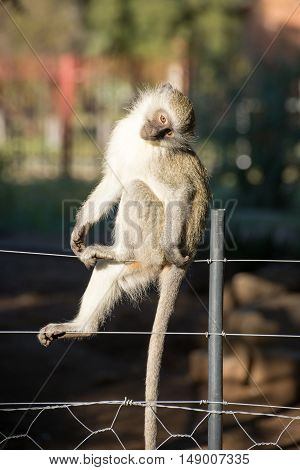 Cute Monkey On Fence