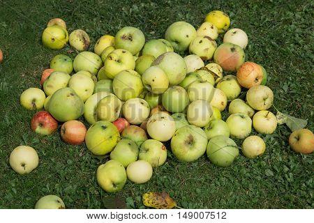 Fallen Apples At Garden Lawn