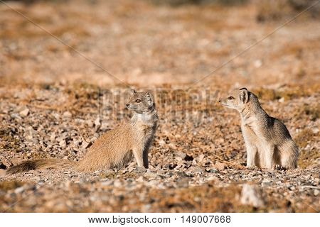 Two Yellow Mongoose