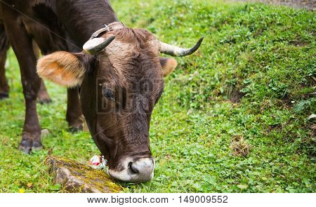 Cow grazing in a meadow summer, farm close-up