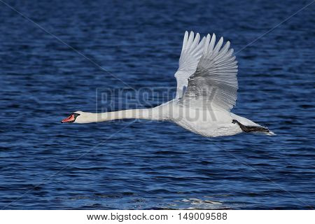 Mute swan in flight with blue water in the background