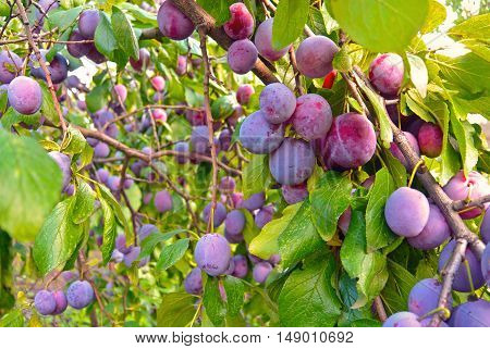 Branches of plum tree with lots of ripe fruits at sunny day
