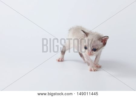 Cute Kitty Cat Walking On White Background