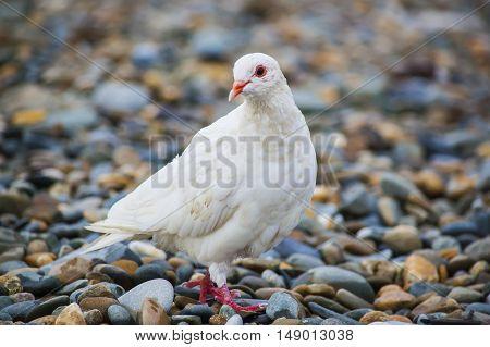 Beauty white dove sitting on peeble beach