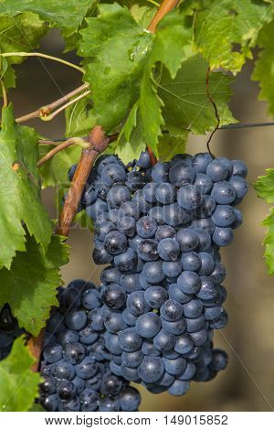 Sangiovese Grapes In The Montalcino Region Of Tuscany