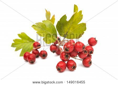 hawthorn berries isolated on a white background