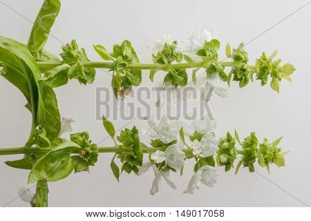 The stems of basil with white flowers on a white background