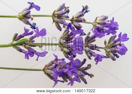 Mature lavender flowers on a white background