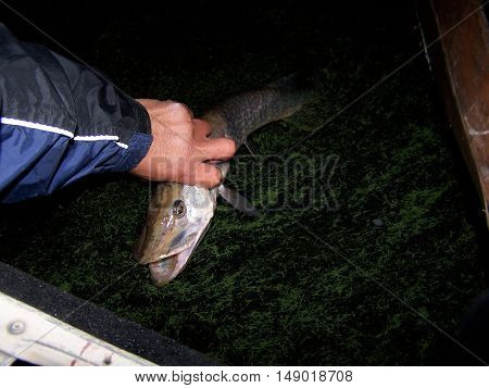 catch and release a pike. Need a bigger size.