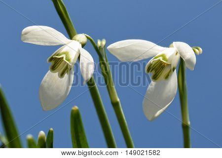 Two snowdrops against a blue sky in detail