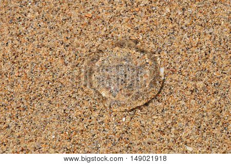 One small transparent jellyfish out of water on coarse colorful sand sea beach under the bright sunshine close up high angle view